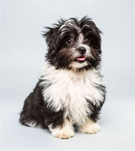 havanese shih tzu mix pong will be competing in animal planet s puppybowl age 12 weeks breed havanese