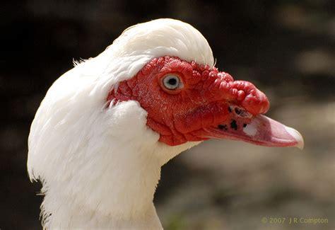 muscovy duck  costa rica lands  love