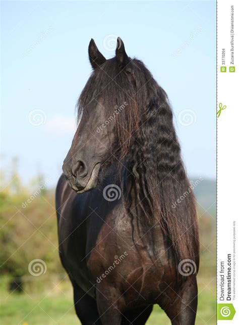 Rest In Peace On The Yegua beautiful friesian wit mane stock images