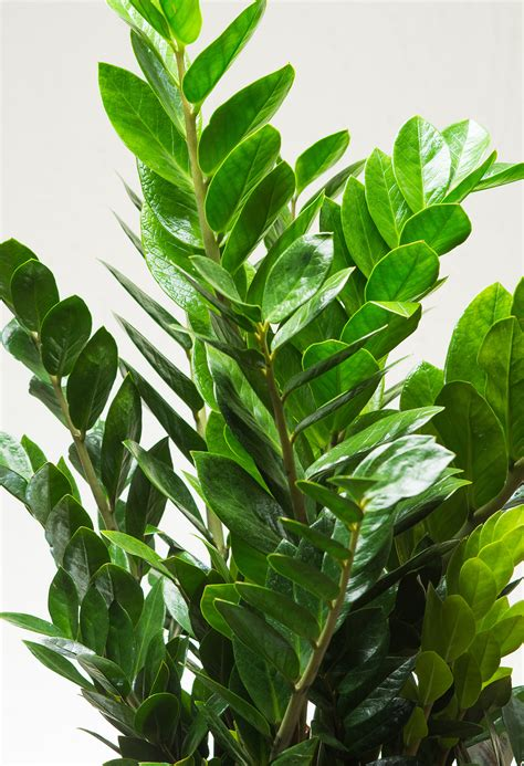 plants that do well in low light zz plant zamioculcas zamiifolia practically thrives on