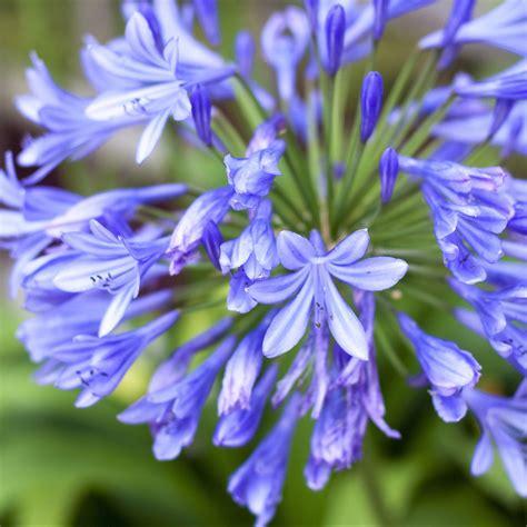 agapanthus johanna blue lily   nile bulb easy