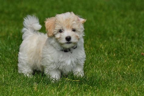 cutest pictures  havanese puppies  photography