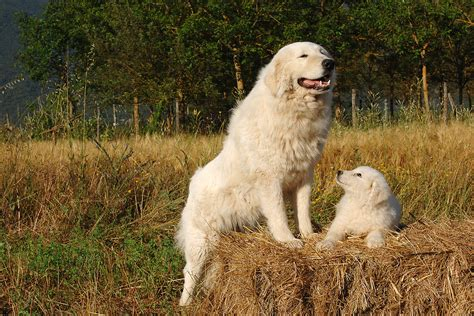 choose  livestock guard dog modern farmer