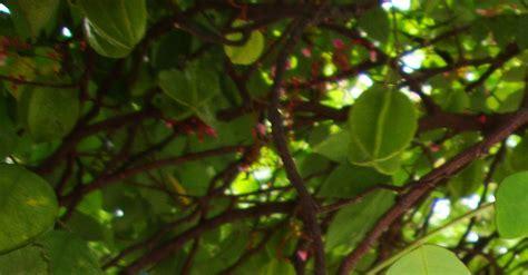 manfaat  khasiat tanaman belimbing averrhoa carambola