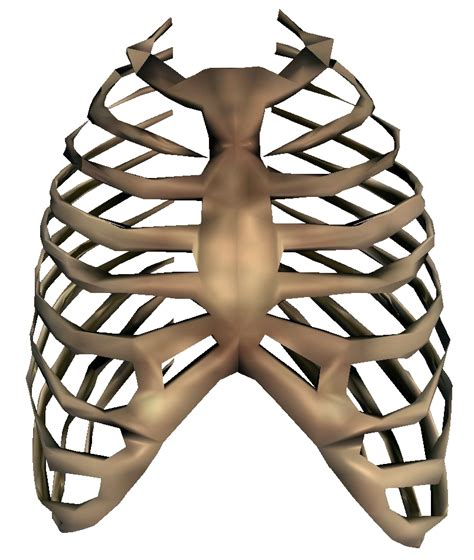 ribs clipart skeleton rib cage clipart best