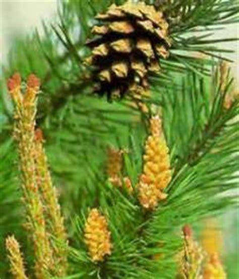 fiori di bach pine fiori di bach pine