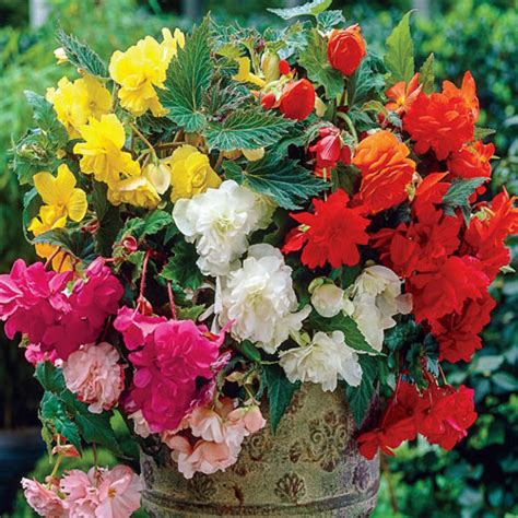 deer resistant double hanging basket begonia mixed