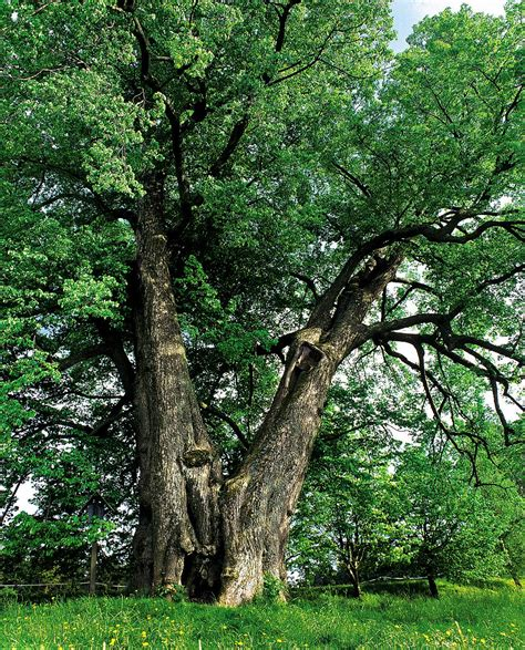 polish tree jewish brothers hid inside named tree of year daily mail online
