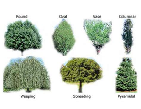 list of trees shade trees rate of growth planting trimming and more