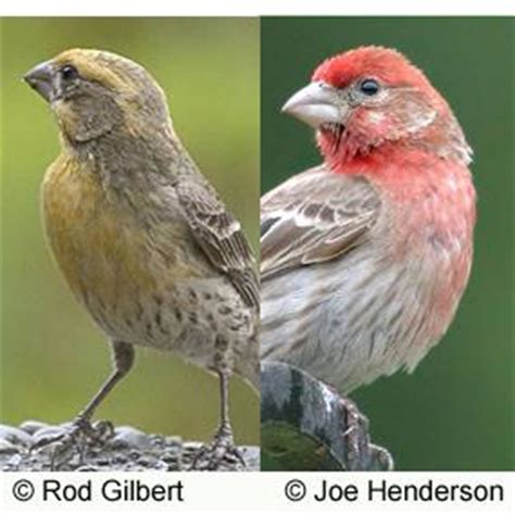 what do house finches eat house finches red and yellow birdnote