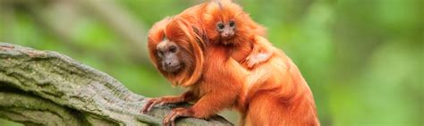 where did the golden live species profile golden tamarin leontopithecus rosalia rainforest alliance