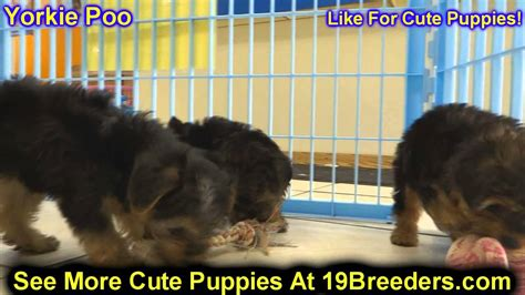 yorkie puppies salt lake city yorkie poo puppies for sale in salt lake city utah ut tooele kearns