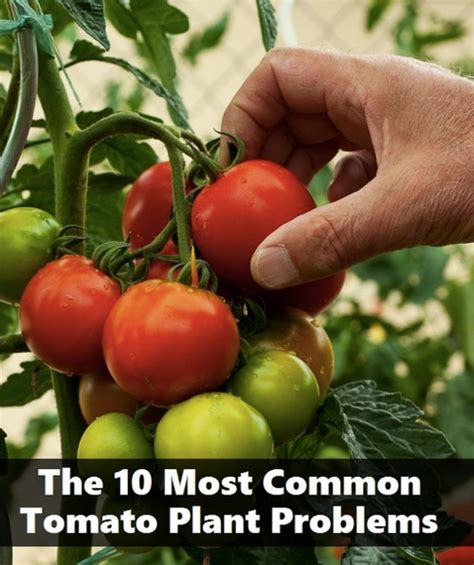 common houseplant problems the 10 most common tomato plant problems homestead survival