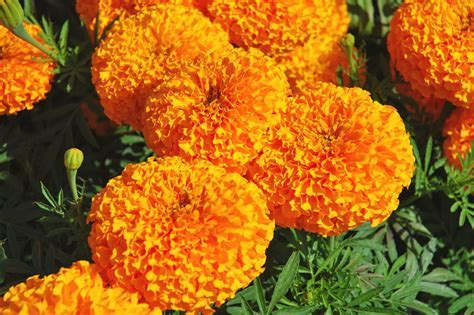 new year marigold flower ameriseed marigold asia king of marigolds welcome