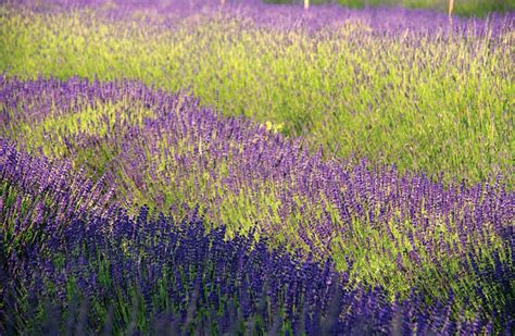 lavender labrynth lavender labrynth 100 lavender labrynth gallery of