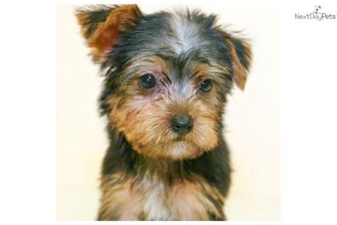 grown yorkies grown yorkie breeds picture