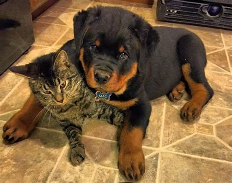 rottweiler and cats 16 things all rottweiler owners must never forget