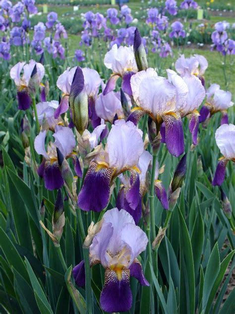 Presby Iris Garden by Presby Iris Gardens