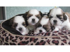 Dogs That Don T Shed For Sale by Dogs That Don T Shed For Sale