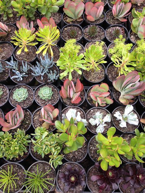 assorted succulents  pot   plants garden