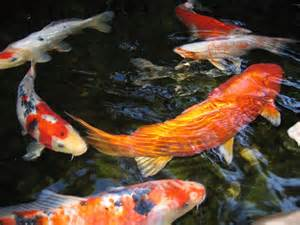 koi fish best images collections hd for gadget windows