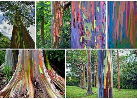 chagne colored tree 17 best ideas about rainbow eucalyptus tree on