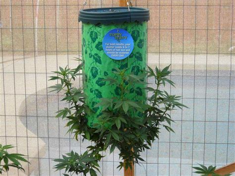 topsy turvy tomato planter is the topsy turvy a way to grow cannabis grow easy