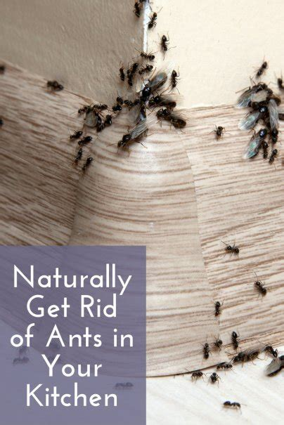 Getting Rid Of Ants In The Kitchen by Naturally Get Rid Of Ants In Your Kitchen