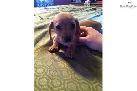 free dachshund puppies near me dachshund mini puppy for sale near richmond indiana cc941794 1a61