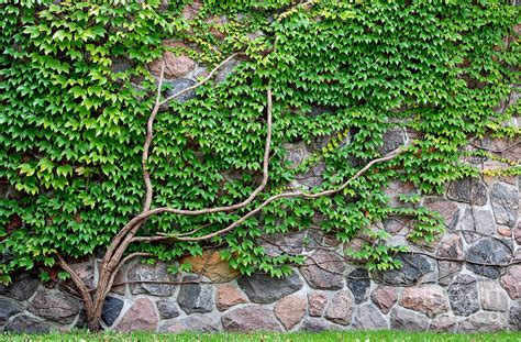 vine growing on a rock wall photograph by michael gray