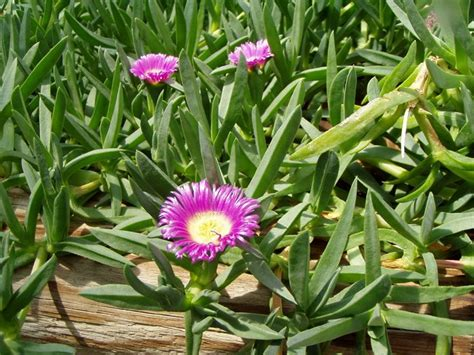 piante grasse pendenti con fiori piante grasse con fiori piante grasse piante grasse