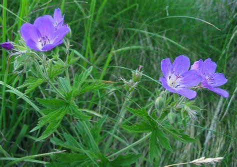 fiori spontanei viola tre fiori viola segnalazione fiori e piante