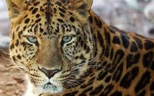 Tiger Cheetah Leopard Jaguar Panther Leopard Portrait Wallpaper 563179