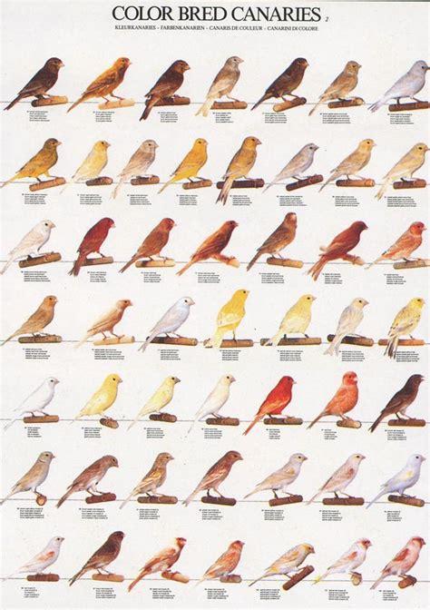 canary color color bred canary suara burung kicau