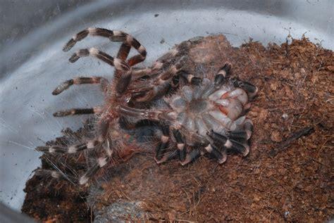 file molting tarantula jpg