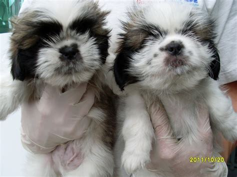 all shih tzu shih tzu s house s caring association