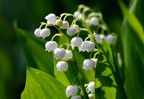 significato dei fiori mughetto fiori di mughetto fiori di piante
