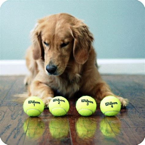my golden retriever puppy bites all the time 17 best images about tennis balls a dogs on