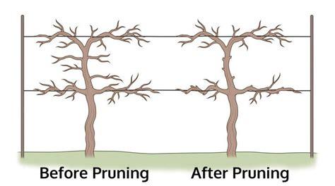 how to prune grapes how to trim a grapevine gardens