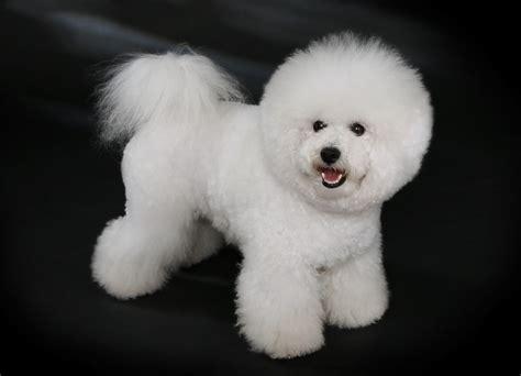 Anak Anjing gambar anjing bichon frise gambar anjing ras foto anak