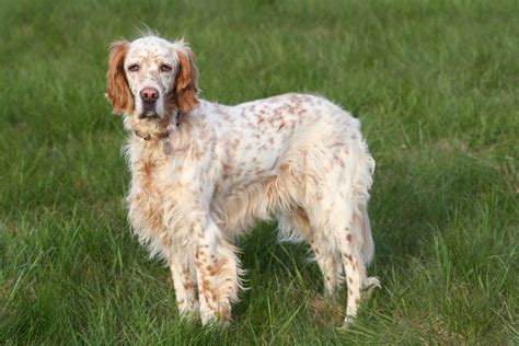english setter gun dog best hunting dogs as your companion survival life