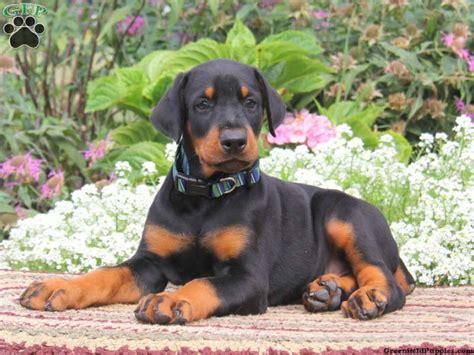 doberman pinscher puppies for sale in pa doberman pinscher puppies for sale greenfield puppies