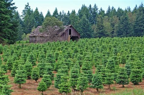 28 best christmas tree farm nc do some people still