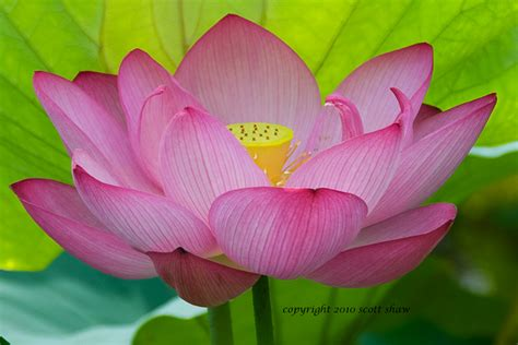 How Much Are Lotus Flowers Lotus Flowers Shaw Photography