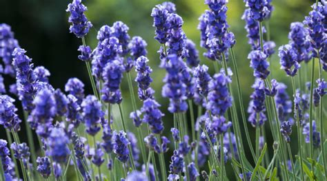 lavendel als zimmerpflanze schlafst 246 rungen archive kostbare natur