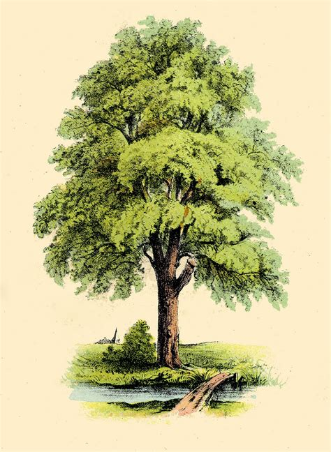 antique clip art image lovely green tree the graphics