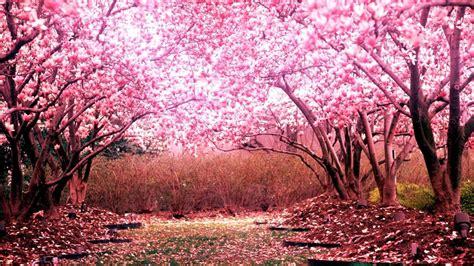 japanese blossom tree cherry blossom tree desktop background hd 1920x1080