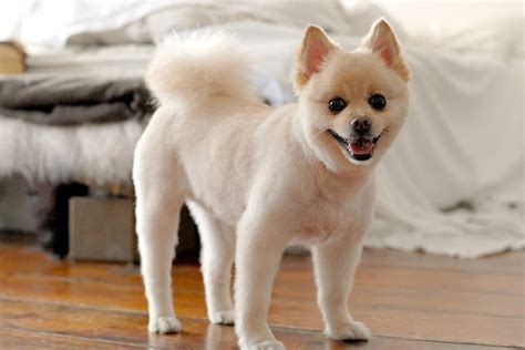 short haircuts for pomeranians pomeranian short hair cut my style pinterest