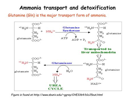 Ammonia Detox by Ppt Metabolism Of Amino Acids Purine And Pyrimidine