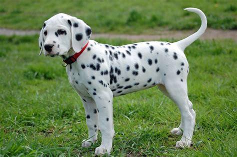 dalmatian puppies dalmatian breed gallery
